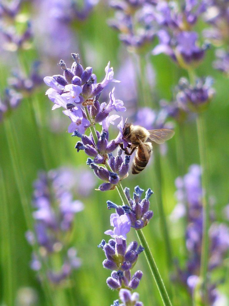 lavender, lavender flowers, bee